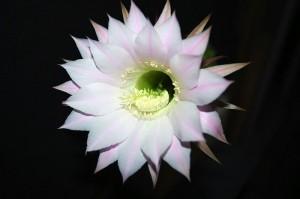 Echinopsis eyriesii3