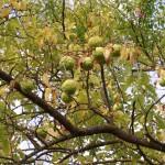 1-Maclura-pomifera-(Rafin)-