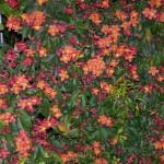 Bignonia capreolata - Örökzöld trombitacserje