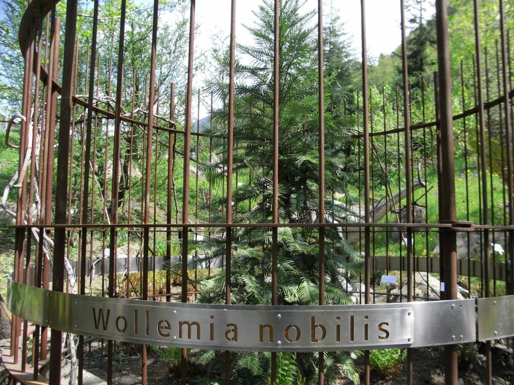 Wollemia nobilis az ELTE Füvészkertjében