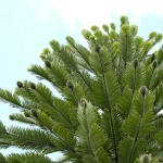 wollemi-pine-wollemia-nobilis-64679