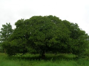 Anacardium_occidentale_tree
