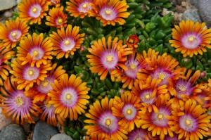 Delosperma-David-Winger1