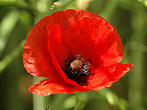 Papaver_rhoeas_Flower_1