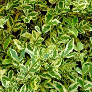 liguster-argenteum_ligustrum-ovalifolium-argenteum1
