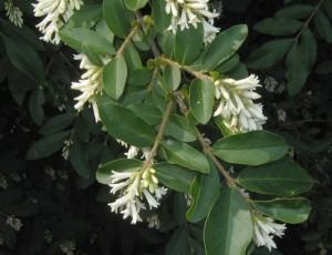 ligustrum-obtusifolium-fl-azinovjev-a